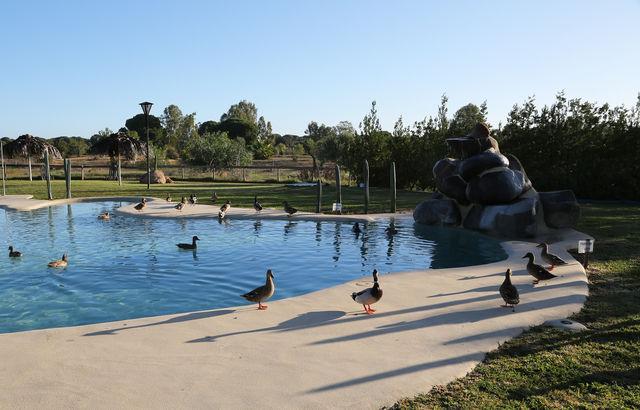 Ardea Purpurea Villamanrique de la Condesa zwembad eenden