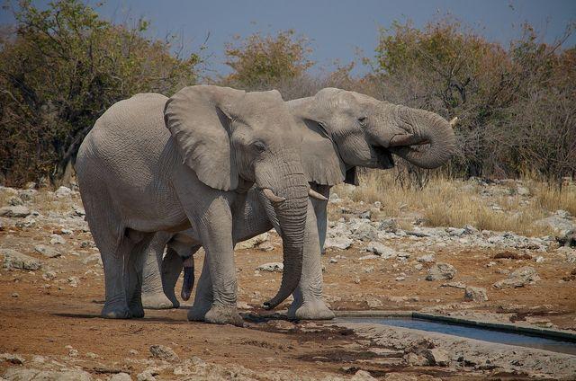 Rondreis Namibië Etosha, olifant