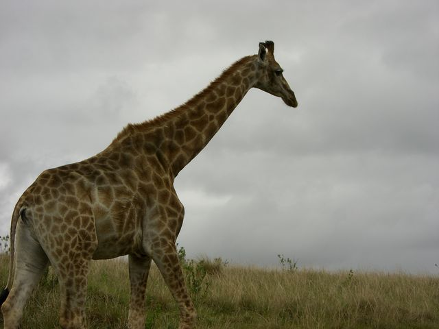 rondreis zuid-afrika Addo Elephant Park giraf