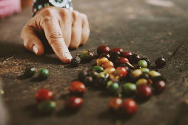 Rondreis Colombia Quindio Manizales Hacienda Venecia koffiebonen die net geplukt zijn