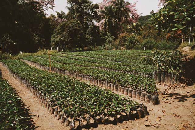 Rondreis Colombia Quindio Manizales Hacienda Venecia jonge koffieplantjes