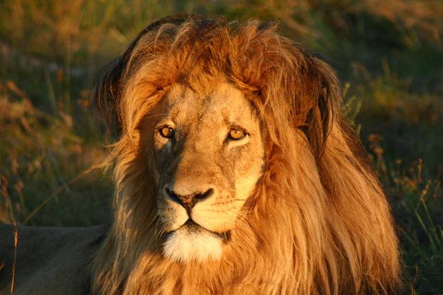 Rondreis Zuid-Afrika Addo Leeuw Cosmos Cuisine
