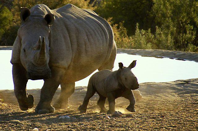 Rondreis Namibie Gocheganas neushoorns