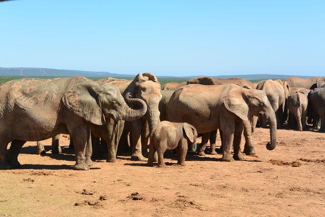 rondreis zuid-afrika Addo Elephant Park groep olifanten