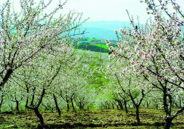 Amandel Bloesem Noord-Portugal