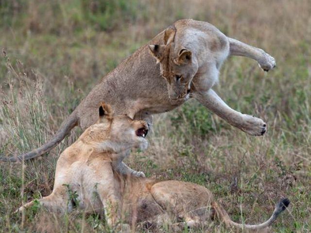 Rondreis Zuid-Afrika Amakoshi Game Reserve spelende leeuwen