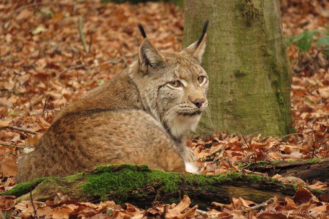 Anholter Schweiz Lynx Isselburg