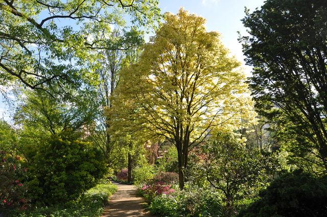 Arboretum Trompenburg Pseudoplatanus