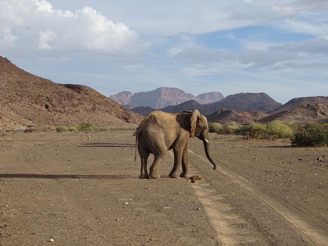 Rondreis Namibië, woestijnolifant