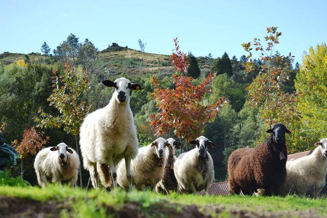 Quinta da Mata Chaves schapen
