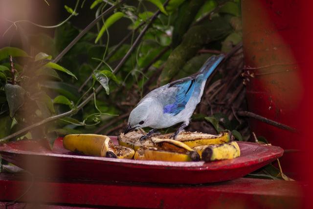 Rondreis Colombia Quindio Manizales Hacienda Venecia vogeltje met bananenschil