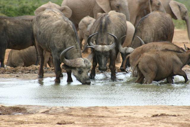 Rondreis Zuid-Afrika Addo Elephant Park buffels