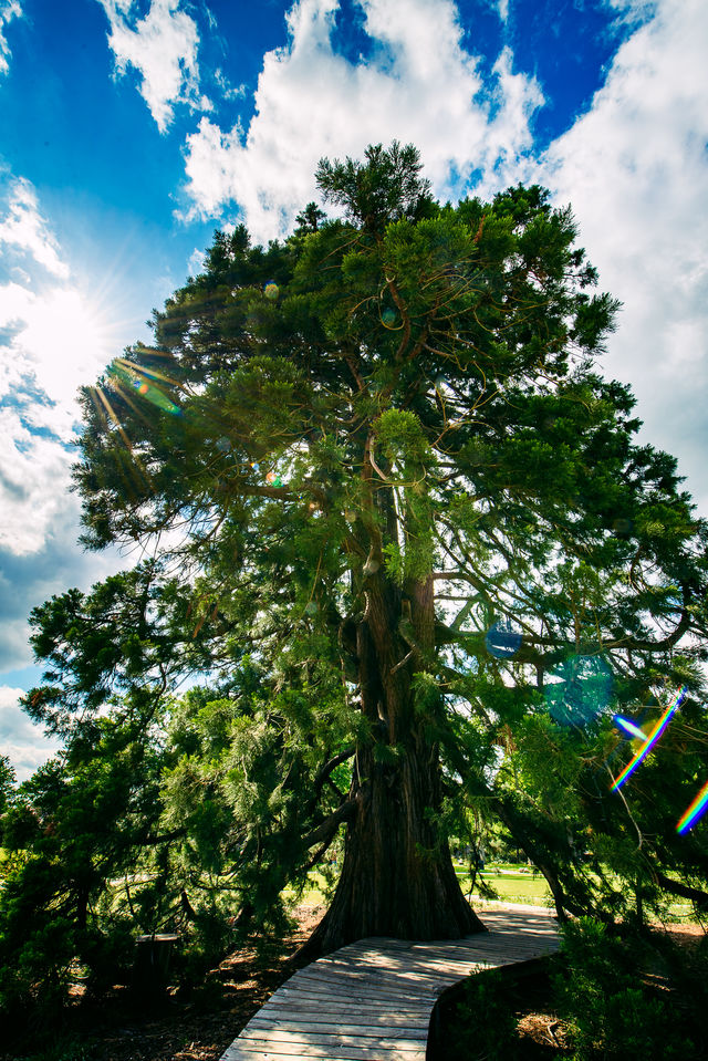 Kasteeltuinen Arcen Mammoetboom Venlo