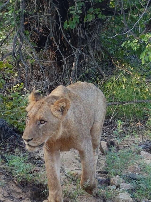 rondreis zuid-afrika Kruger Park Timbavati Private Game Reserve leeuw