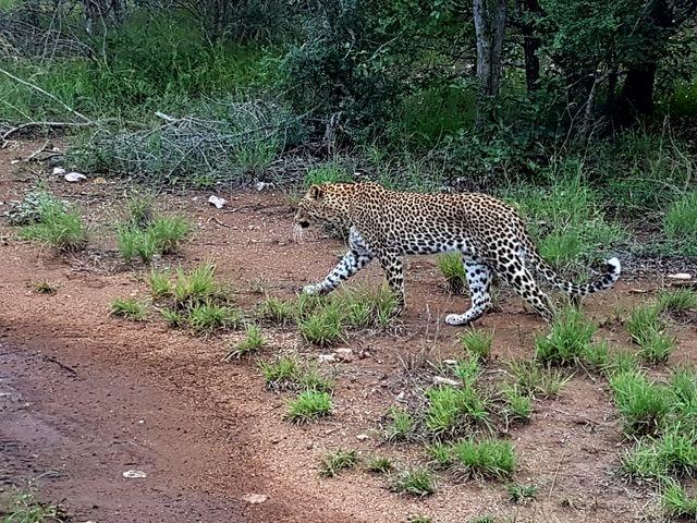 rondreis zuid-afrika Kruger Park luipaard