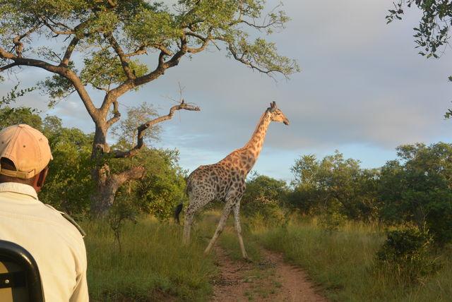 Rondreis Zuid-Afrika giraf Kruger Park