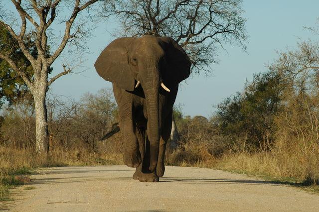 Rondreis Zuid-Afrika Kruger Park olifant op weg