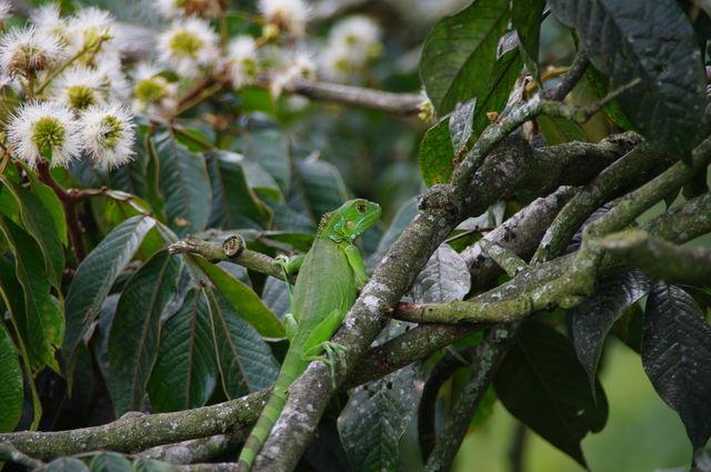 Rondreis Colombia natuur Zona Cafetera leguaan