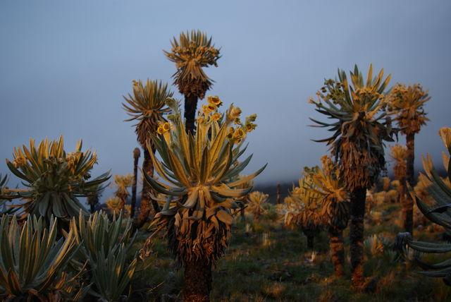 Rondreis Colombia Quindio Nevados NP cactussen