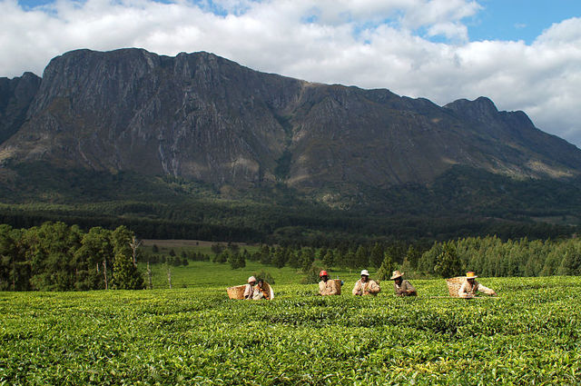 Koffie en theeplantegs Malawi, rondreis Malawi