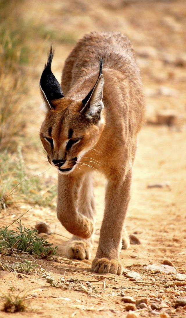 Rondreis Namibie wilde kat Naankuse