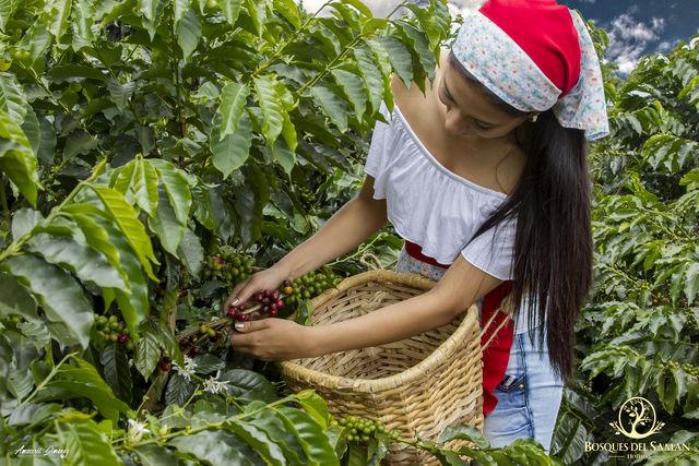 Rondreis Colombia Risaralda Filandia Bosques del Saman Filandia koffiebonen plukken
