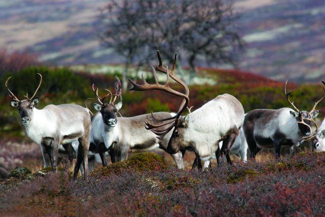 Rendieren Røros Trøndelag Noorwegen