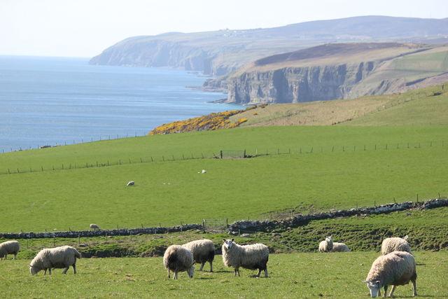 Schotland kust schapen