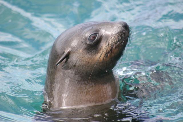 Rondreis Zuid-Afrika Hermanus zeehond