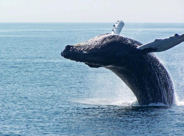 Walvis Massachussets Verenigde Staten