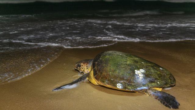 rondreis zuid-afrika Thonga beach schildpad