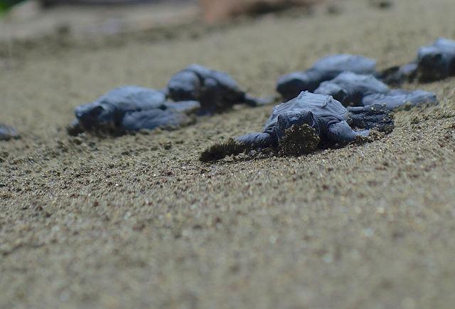 Rondreis Colombia Choco Nuqui El Cantil Ecolodge jonge zeeschildpadjes kruipen over het strand