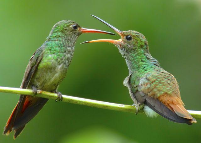 Rondreis Colombia Choco Nuqui El Cantil Ecolodge twee kolibries