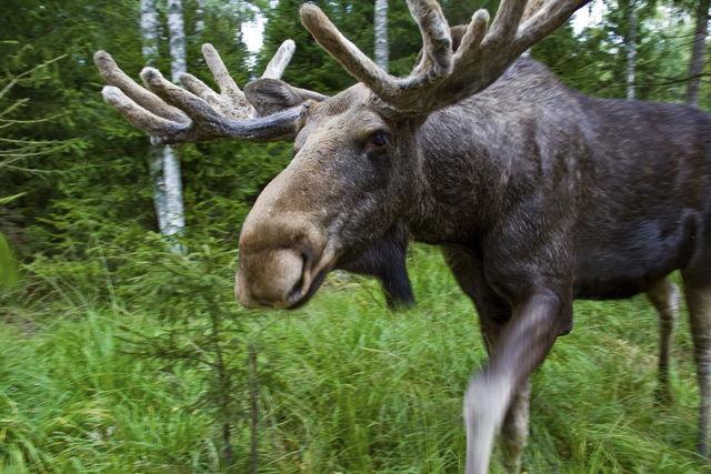 Eland Zweden